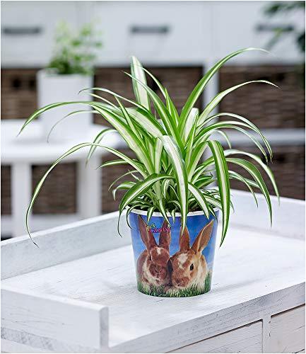"""BALDUR-Garten Chlorophytum""""Hase"""", 1 Pflanze Grünlilie Pflanzenfutter für Hasen Zimmerpflanze"""