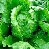 Eissalat - Eisbergsalat - Salat Iceberg - 500 Samen