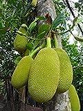 PLAT firma de Artocarpus heterophyllus SEMILLAS * * JACKFRUIT exóticos de frutas más grande del mundo * 3 Semillas
