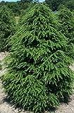Tsuga canadensis - Kanadische Hemlocktanne - 10 Samen
