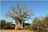 Seedeo Affenbrotbaum (Adansonia digitata) 6 Samen