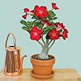 #4: Desert Rose Adenium Live Plant Red Color (GRAFTED - LIVE PLANT) - BEE Garden Organic