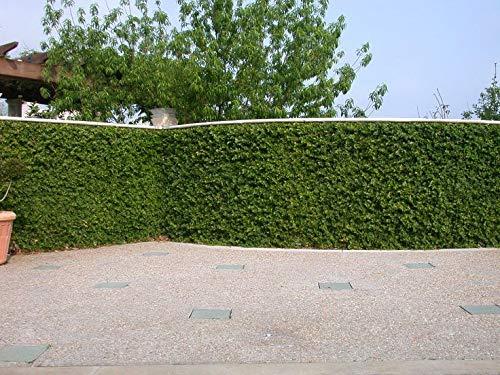 portal cool ficus pumila 3 talee, facile da coltivare, arrampicata/creeping figura, piante da esterno indoor
