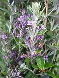 Buddleja alternifolia Unique - Hängender Sommerflieder Unique