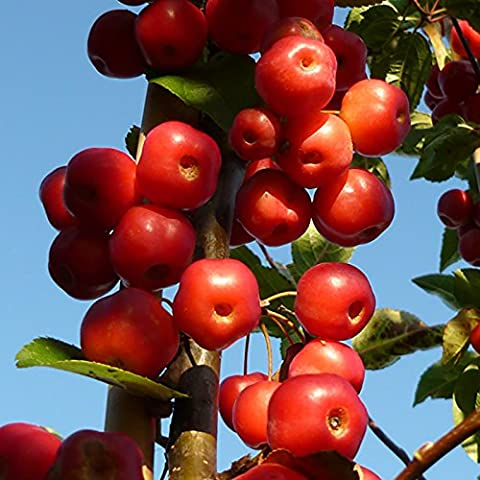 Crab Apple Red Sentinel Patio Fruit Tree in a 5L