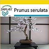 SAFLAX - Kit de culture - Cerisier du Japon - 30 graines - Prunus serulata