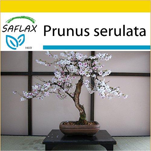 SAFLAX – Anzucht Set – Bonsai – Japanische Blütenkirsche – 30 Samen – Prunus serulata