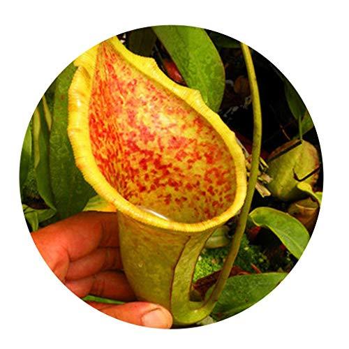 Kannenpflanze  <strong>Wuchsbreite</strong>   30 cm