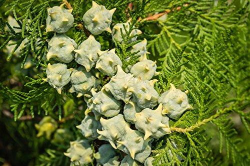Morgenländischer Lebensbaum Thuja orientalis 60 Samen
