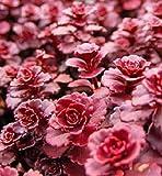 50Rot Drachen Blut Fetthenne Mauerpfeffer Blumensamen