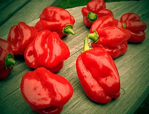 Portal Cool 10 Samen: Chilli Habanero Red Savina Samen, Bis 500.000 Scoville