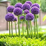 ESHOO Allium Giganteum Samen Lila Pflanze DIY Haus Garten 25 Samen