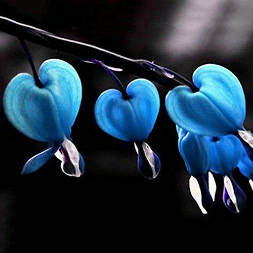 (WuWxiuzhzhuo 100Mehrjährige Kräuter Tränendes Spectabilis Blumensamen Blau)