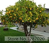 Pinkdose 20 PC/bag selten Zitronenbaum köstliche Frucht für zu Hause Garten Pflanzung hoher Überlebensrate (95% +)
