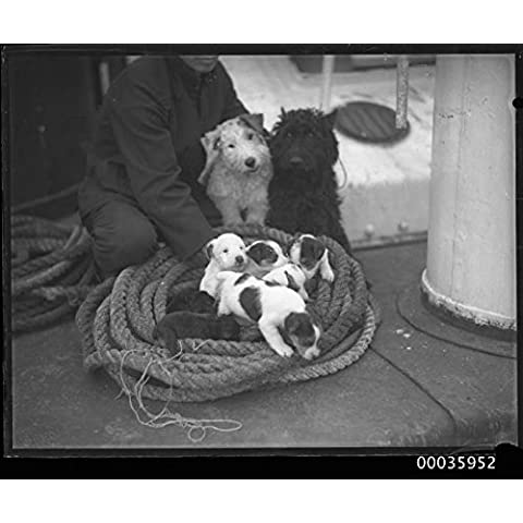 POSTER Seaman YAHIKO MARU with two terriers and litter puppies c 1950 Australia Maritime Australian (Puppy Litter)