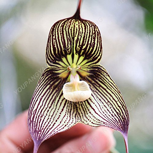 100 graines / pack japonais Radiata Seeds Aigrette Orchid Seeds espèces du monde Orchidée Rare Fleurs blanches Orchidee jardin plante rose