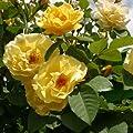 Rose Golden Gate® Kletter®Maxe (im grossen Container) - Kräftig entwickelte Pflanze im 6lt-Topf von Lubera AG - Du und dein Garten