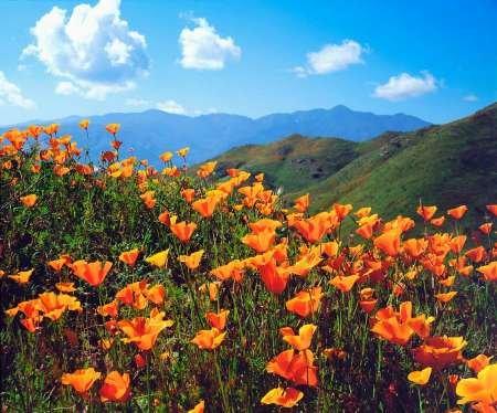 Fine Art Print–California, Lake California Poppies par Danita Delimont photos, 35 x 29
