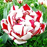 New Tulip Bulb,Purple Tulips,Variety Fresh Corms Planted Numerous 100% Success Rate -5pcs 4