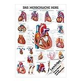 Das Herz Mini-Poster Anatomie 34x24 cm medizinische Lehrmittel
