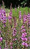 Wasserpflanzen Wolff - Lythrum salicaria - Blutweiderich - Rutenweiderich, rot