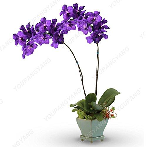 100 graines / pack japonais Radiata Seeds Aigrette Orchid Seeds espèces du monde Orchidée Rare Fleurs blanches Orchidee Jardin Plante Jaune