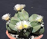 Farmerly Astrophytum Myriostigma Nudun Rare Cacti Exotic Flowering Cactus Seed 100 Seeds