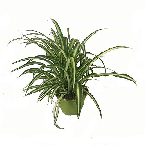 cinta-planta-maceta-15cm-con-colgador-chlorophytum-envios-solo-a-peninsula