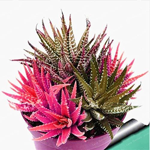 Bloom Green Co. Nouveau! 100 Pcs coloré Cactus Rebutia Variété Mix Exotique Floraison Cacti Rare Cactus Aloe Bureau Bonsai Plant Mini: 1 Succulent