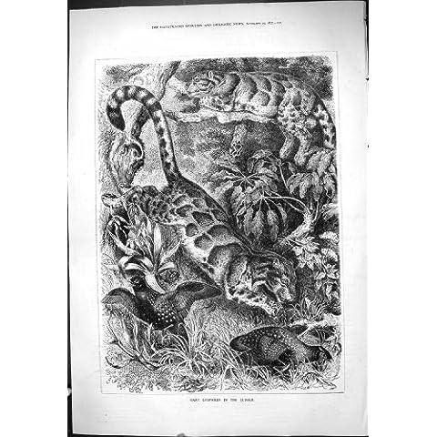 Impresión Antigua de los Animales Salvajes 1877 de los Gatos de la Selva Gris de los Leopardos