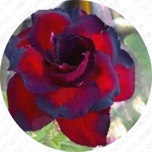 100% vrai Desert Rose Seeds plantes ornementales Balcon Bonsai pot Fleurs Graines Adenium obesum Seed - 5 particules / lot