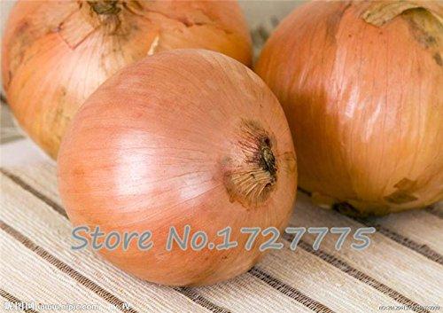 500 graines d'oignon. AILSA CRAIG écossais Heirloom une énorme graine onion.Vegetable.