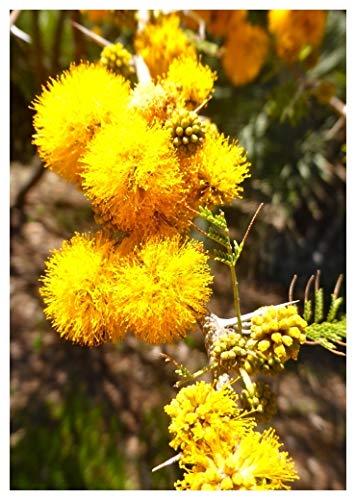 TROPICA - Kleine Schirmakazie (Acacia caven) - 10 Samen