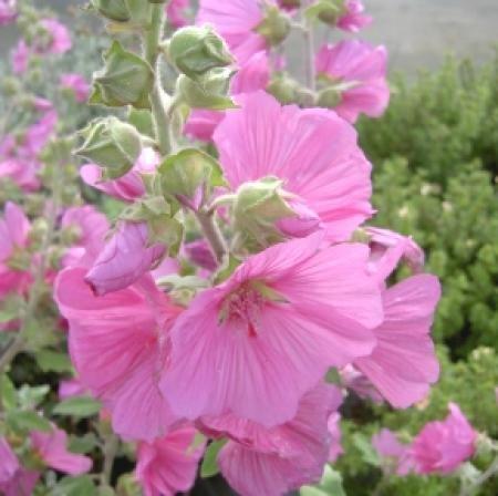 lavatera-rosea-in-9cm-pot-quality-tree-mallow-shrub