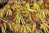Portal Cool Acer palmatum Dissectum Zaaling, Japanischer Ahorn