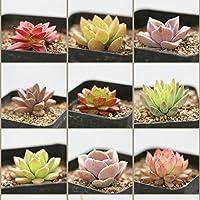 Loveble Succulentes Mélanger Plantes Rare Exotique Plante Succulente Plante Mignonne