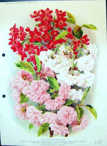 fiori-giapponesi-di-fioritura-della-stampa-di-colore-delle-ciliege-di-kanzan-della-famiglia-di-rosa-