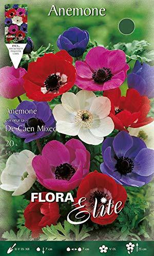 Anemone \' Einfach De Caen\' Mischung, Blumenzwiebeln für Herbstpflanzung