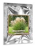 RIESEN CHINASCHILF ca.100 Samen - Silberfeder - Miscanthus chinensis winterihart - Prächtiges Gras für den Garten - ideal als Ufer Pflanze für den Gartenteich, als Sichtschutz oder als Begrenzung geeignet