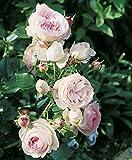 'Eden Rose '85' -R-, Rosen-Hochstamm im Container