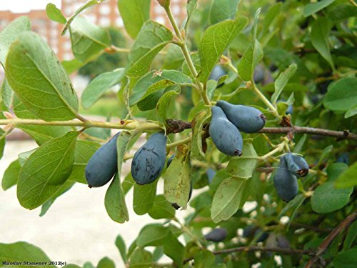 Asklepios-seeds® - Lonicera caerulea, Blaue Heckenkirsche, 50 Samen