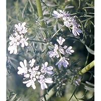 3Coriandre herbes plantes en pots de 9cm, prêt à planter
