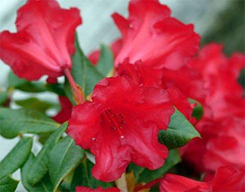 9cm-pot-dwarf-rhododendron-baden-baden-agm-scarlet-red-flowers-garden-shrub