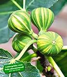 BALDUR-Garten Melonenfeige,1 Pflanze Ficus Feigenbaum Fruchtfeige
