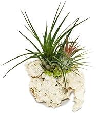 Tillandsia en Zanzíbar Rock-L-2plantas