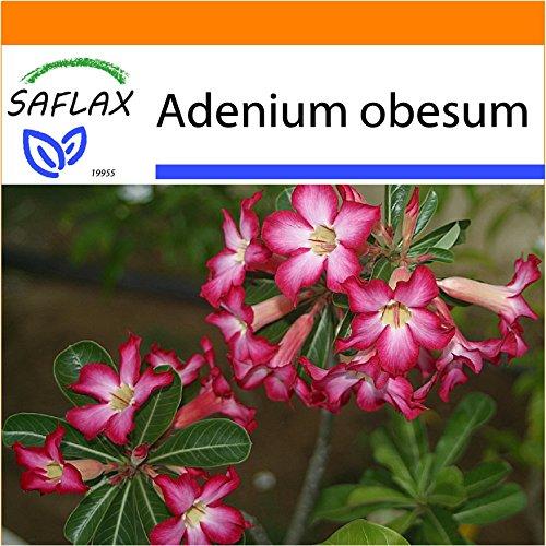 Galleria fotografica SAFLAX - Garden in the Bag - Rosa del deserto - 8 semi - Adenium obesum