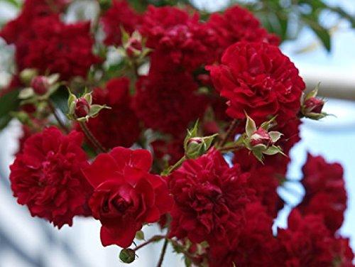 Rosarot Pflanzenversand ML202