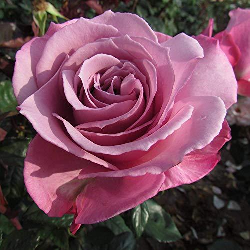 Shop Meeko SILVER SHADOW - Bareroot Hybrid Garden Rose Bush - Lovely & Unusualy/Lilac Blooms - Starke Düfte -