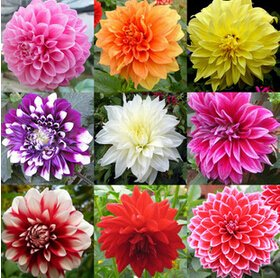 Galleria fotografica Semi di fiori Tipo ordinally Yukako semi dalia bulbi bonsai fiori - 100 pz semi ,!