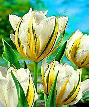 Vrai Tulip Bonsai Double Tulip » Barbade Flower Flores, plantas Tulipes bulbeuse Racine tulipanes Jardin Plante 101 pcs: 5